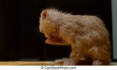 Wet washed cat licks the fur - Wet washed the cat licks the...