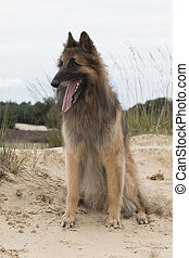 Dog, Belgian shepherd Tervuren, looking out over dunes -...