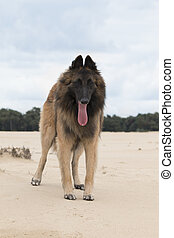 Dog, Belgian shepherd Tervuren, standing on sand - Dog,...