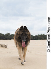 Dog, Belgian Shepherd Tervuren, walking on sand to camera,...