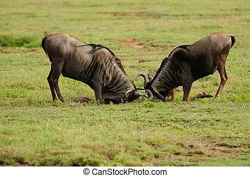 Duel - Ngora-Ngora, Tanzania, Africa