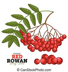 Red Rowan Set, Vector.