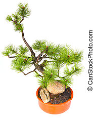 bonsai, pino