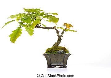 bonsai, roble