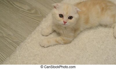 Scottish Fold kitten lies on white carpet