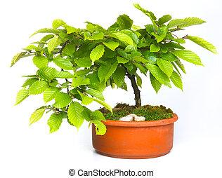Haya, árbol, bonsai,