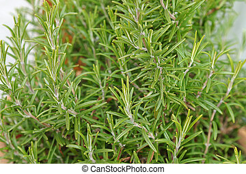 Closeup photo of herbal plant, home grown Rosemary