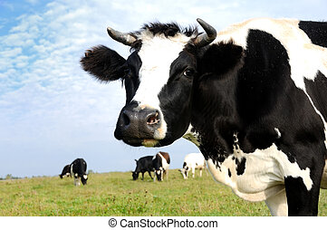 milch cow on green grass pasture - Black and white milch cow...