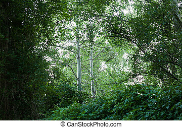 Birch Betula pendula trees in the forest, Frankfurt Oder,...