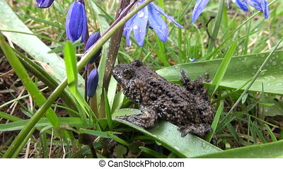 European fire-bellied toad Bombina in spring by blue scilla...
