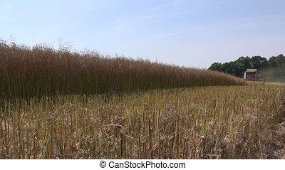 harvester harvesting rapeseeed