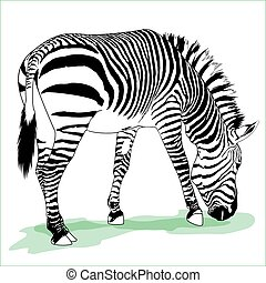 Vector zebra illustration - Vector detailed illustration of...
