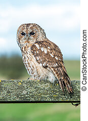 Tawny Owl (Strix Aluco) - Tawny Owl perched on fence in...