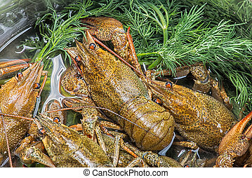 Many live crayfish on kitchen - Background of the heap of...