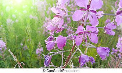 Fireweed Epilobium angustifolium in bloom - Pink flowers of...