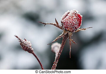 Red rose with frost. Frozen rose under the snow