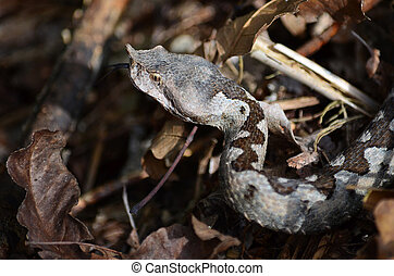 Horned viper - Vipera ammodytes or long nosed viper, the...