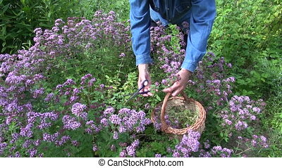 Gardener collecting fresh oregano in the herb garden in...