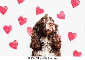 valentine pup - cute springer spaniel dog with a heart...