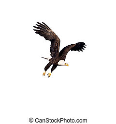Bald Eagle in flight isolated on white - Bald Eagle in...