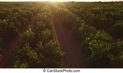 Aerial view of orange tree field at sunset - Top view of...