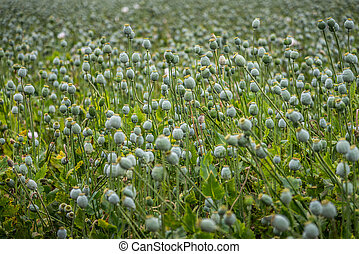 Capsules of poppy field - Field of the white poppy with...