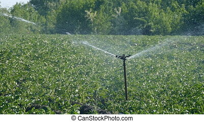 Agriculture, potato field watering - Potato field with...