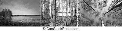 árboles, bosque, finlandés, Abedul