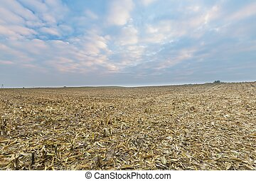 Stubble field after corn Agricultural landscape in late...