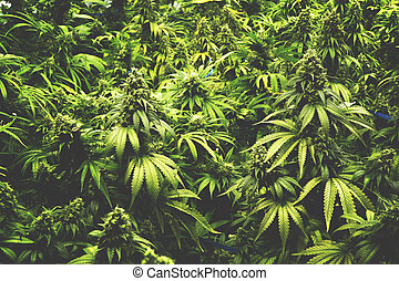 Marijuana Plants at Cannabis Farm - Homegrown indoor pot...
