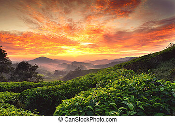 beautiful moment during sunrise at tea farm. dramatic...