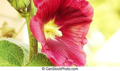 Red Flower Mallow Closeup - red flower mallow closeup