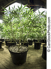 Green Leafy Indoor Marijuana Plants - Rows of indoor...