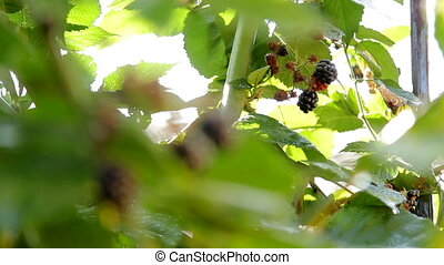 Hand Picking Off Blackberry - Closeup shot of blackberry...