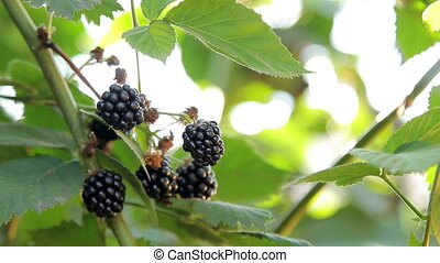 Growing Blackberries Well-Lit with Sun - Closeup shot of...