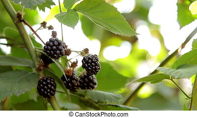 Pouring Blackberries Growing on the Bush - Closeup shot of...