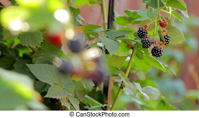 Watering Blackberry Bush - Closeup shot of blackberries with...