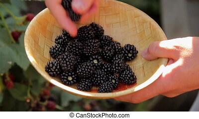 Picking Off Blackberry and Putting It into Bowl - Closeup...