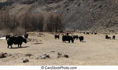 Yaks Graze On The Mountain Pasture - yaks graze on the...