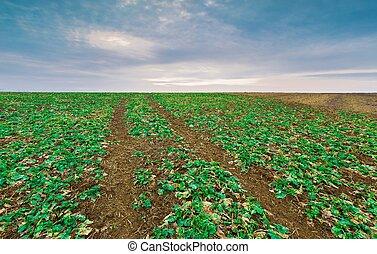 Green rape field