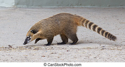 South American coati (Nasua nasua), also known as the...