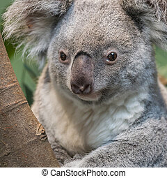Close-up of a koala bear, selective focus