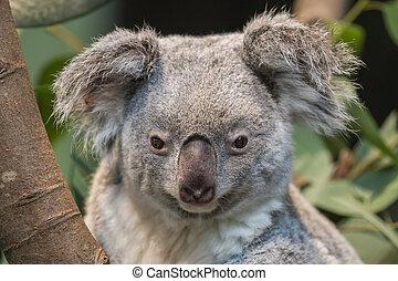 Close-up of a koala bear, selective focus