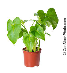 foliage of Calla Lily flower in pot is isolated on white...