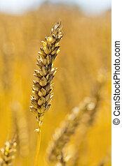 wheat in a field - ears of wheat on a grain field a farmer...