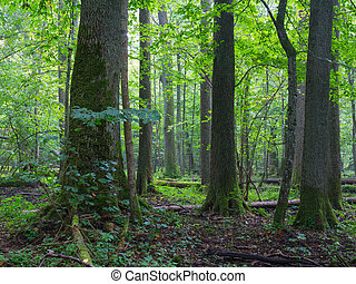 Old alder trees of Bialowieza Forest - Old alder natural...