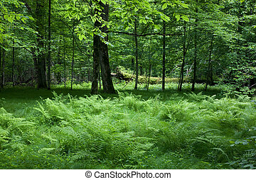 Shady deciduous stand of Bialowieza Forest in springtime...