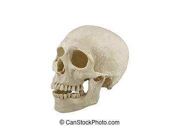 humano, cráneo, modelo, aislado, blanco