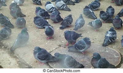 Pigeons in cold weather. Pigeons eating bread on city...