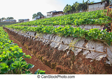 strawberry plantation farm field in angkhang chiangmai...